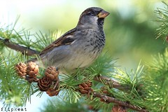 October's Song (flipkeat) Tags: wildlife nature birdwatching birding awesome outdoors closeup sony mississauga portcredit different bird birds naturephotocontest sparrow male a77ii