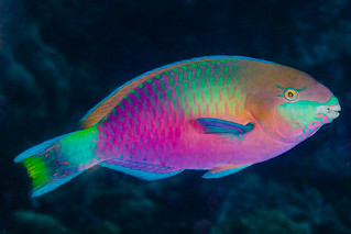 Quoy's Parrotfish, terminal phase - Scarus quoyi