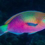 Quoy's Parrotfish, terminal phase - Scarus quoyi thumbnail