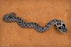 Eastern Hognose Snake (Nick Scobel) Tags: eastern hognose hognosed snake heterodon platirhinos puff adder blow harmless playing dead hooding puffing up hood cobra red dirt florida clay road sand coarse