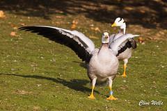 Bar-headed goose (wells117) Tags: 2017 anserindicus banhamzoo barheadedgoose bird clivewells goose norfolk oct oct2017 wildfowl zoo