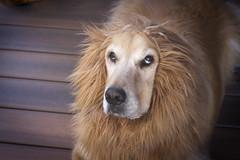 Really?!-Fauna 7DWF (Karon Elliott Edleson) Tags: golden goldenretriever halloween costume attitude expression atticus lion lionking 7dwf faunasunday