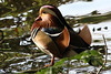 Mandarin Duck (AO'Brien) Tags: mandarin duck pheonix park dublin wildlife nature bird