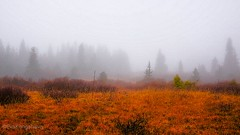 Misty fall day on the Norwegian mountains. It's incredible quiet, you can hear a river somewhere and your heartbeats 😄Happy Halloween 🎃. (evakongshavn) Tags: landscapephotography landscape landschaft landskap norsknatur nature light new naturbilder naturelover naturephotography naturelovers naturaleza naturphotography mistydays mistyday mistshot mist misty foggyday fog foggy fogshot autumn autumncolors fall fallcolors colors colours colorful colourful trees oldtree tree spruce paysage fôret forest bois spooky moody halloween happyhalloween atmosphere