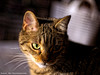 _DSC0062_v1 (Pascal Rey Photographies) Tags: chat chatte cat katze gatto animalerie animaux animals animales animali tiere nikon d700 luminar digikam digikamusers pascalreyphotographies photographiecontemporaine photos photographie photography aruba abw littledoglaughednoiret