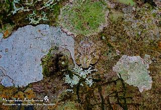 Cigarrinha - Flatoidinus sp (Flatidae Flatoidinae)