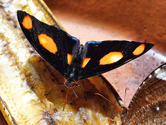 Male Shoemaker Butterfly – Catonephele numilia (sunbeem - Irene) Tags: butterfly male shoemaker shoemakerbutterfly holiday aruba orangespots fruits flowers ripefruit black closeup flower fruit sixspots sixorangespots banana