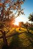 Olive trees at sunrise (thethomsn) Tags: olive tree sunrise fisheye sky nature backlight 8mm walimex thethomsn portugal algarve fruit