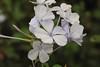 Pretty  white (Rajavelu1) Tags: flowers white plants green colours macrophotography canonef100mmf28lisusmmacro canon60d art creative