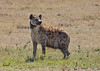 African Safari. Hyena with a tracker. (Lena and Igor) Tags: safari travel africa kenya masaimara hyena tracker collar savanna dslr fx nikon d810 sigma 150600 contemporary