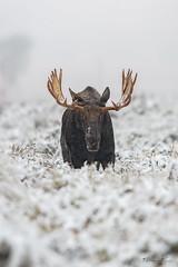 Moose Face Off (Khurram Khan...) Tags: moose wildlife wild wildlifephotography wwwkhurramkhanphotocom winter snow deer grandtetonnationalpark ilovenature ilovewildlife iamnikon nikonnofilter naturephotos photography animal sagebrush snowfall white nikond850 explore