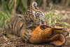 Rescued Tiger Cub and Companion Settle into New Home at the San Diego Zoo Safari Park (San Diego Zoo Global) Tags: animals nature tiger cubs baby cats bigcats sandiego zoo safaripark conservation
