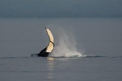 Waving (Adam Wang) Tags: animal whale humpback mammal ocean sea tail slap