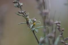 En glimt av färg (tusenord) Tags: nyckelpiga coccinellidae tjugotvåprickignyckelpiga gul nyckel fotosondag fs170924 psylloboravigintiduopunctata coleoptera macro insects autumn colours