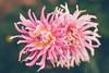 Pink dahlia (Chloé +++) Tags: dahlia flower flowers fleur fleurs pink rose yellow jaune nature natural natur garden outside pétales blossom bokeh dof depthoffield canon eos france occitanie new macro proxi