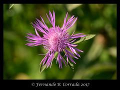Knapweed (7242) (fbc57) Tags: nikond800 sigma150f28exapomacro bristol bristolwetland vermont flowers wildflowers