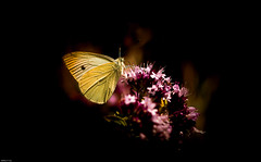 """Fleur au citron"" (mathieuploton2) Tags: butterfly flower citron lemon insect bug out outdoor yellow plant summer garden"