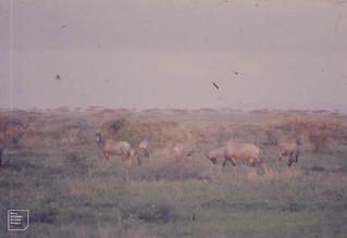 Topi with young graze and preen. Ndutu
