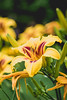 Sunny Hill Resort (Katherine Ridgley) Tags: ontario northernontario madawaskavalley madawaska sunnyhillresort barklake cottage camping flower flowers lily