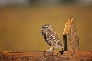 Little Owl: Athene noctua (Explored)