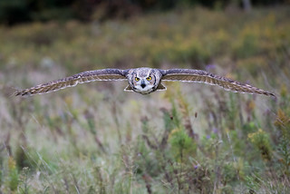 Great Horned Owl head-on