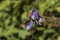 "Monkshood • <a style=""font-size:0.8em;"" href=""http://www.flickr.com/photos/63501323@N07/36983091164/"" target=""_blank"">View on Flickr</a>"