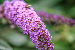 depth (Paul Wrights Reserved) Tags: bee flowers flower insect botanical bokeh dof