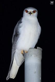 Peneireiro-cinzento, Black-winged Kite( Elanus caeruleus)