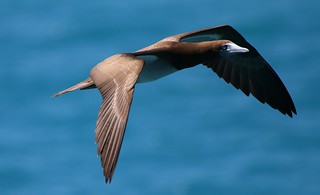 Brown Booby  (3)