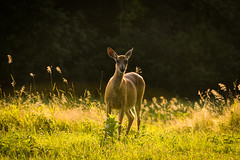 Out of the Forest (wardephoto) Tags: landscape deer redtaildeer wildlife newengland summer summervibes forest exploration telephoto nikon nikond3300 lightroom natureshots wildlifephotography landscapephotography landscapeexhibition