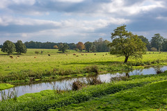 River Tern (Happy snappy nature) Tags: rivertern attinghampark landscape outdoors dullday shropshire water trees clouds cows
