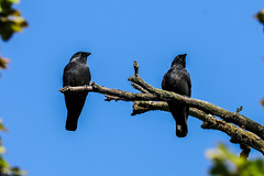 birds of a feather (I was blind now I see!) Tags: jackdaw perching branch aloof above shotfrombelow