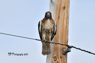 Red-tailed Hawk DSC_8517