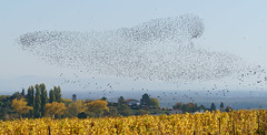 Who wants to count? (Starlings in Alsace) (Götz_) Tags: fabuleuse mfcc