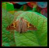 Longwood Gardens - Epargyreus clarus - Silver-spotted Skipper 1 - Anaglyph 3D (DarkOnus) Tags: anaglyph pennsylvania buckscounty panasonic lumix dmcfz35 3d stereogram stereography stereo darkonus closeup macro insect longwood gardens epargyreus clarus silverspotted skipper butterfly
