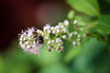 Sunny Hill Resort (Katherine Ridgley) Tags: ontario northernontario sunnyhillresort camping cottage madawaskavalley madawaska barklake summer bee insect flower bug
