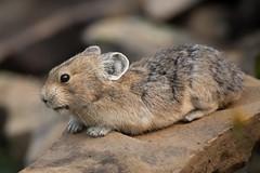 Pika (Edmonton Ken) Tags: pika alberta mammal rock rabbit kananaskis country ochotonidae lagomorpha fur ochotona princeps furry cuddly cute animal