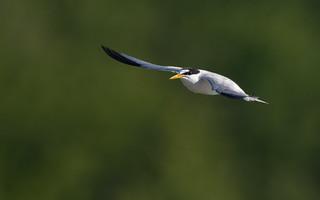 Least tern, Wells Reserve at Laudholm