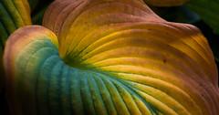 Hosta Vibrante' (fotostevia) Tags: hosta abstract fallcolor fallleaves flora