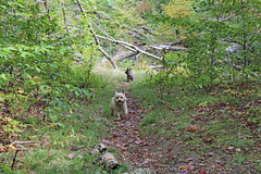 buck092117j (myvreni) Tags: vermont summer nature outdoors animals dogs cairnterriers pets