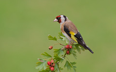 Goldfinch (stanley.ashbourne) Tags: goldfinch nature wildlife standlake oxfordshire finch wildlifephotography