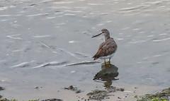 Sand Piper Head Turned - Cape Cod (JohnColeUSA) Tags: coastal coast sea capecod lowtide ma mass bird coastalbird sandpiper bay water beach sand