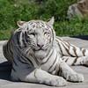 Smile | Kernhof, Austria (Chris Feichtner) Tags: whitetiger animals tiger