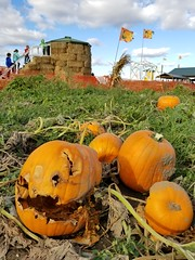 20171015_161727 (Wampa-One) Tags: pumpkins rotting halloween pumpkinpatch oneeyedwillie face flags