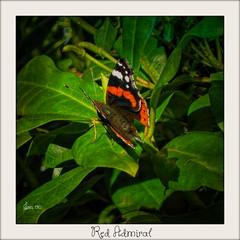 Red Admiral in late Autumn (Jan 130) Tags: jan130 butterfly redadmiral vanessaatalanta geotagged topazclarity picmonkey schmetterling vlinder papillon borboleta farfalla mariposa specanimal ngc npc coth5