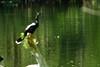 DSC01729.jpg (joe.spandrusyszyn) Tags: suliformes anhingidae americanalligator vertebrate nature darter snakebird osceolacountyenvironmental animal unitedstatesofamerica anhingaanhinga byjoespandrusyszyn florida bird kissimmee reptile alligatormississippiensis crocodilia alligatoridae alligator anhinga