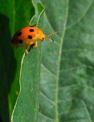 Vertigo (mishko2007) Tags: ladybird korea 105mmf28