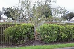 O1K_9387 (68photobug) Tags: 68photobug nikon d7000 nikkor 28300mm lakeland polkcounty florida usa outmybackdoor hurricane irma storm damage