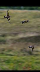 #Birds #Seaham #goldfinch #birdworld #speed #quick as #flickr #birdworld (benhutchinson77) Tags: birds seaham goldfinch birdworld speed quick flickr