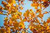 Autumn Leaves #275/365 (A. Aleksandravičius) Tags: autumn leaves bokeh lithuania color lietuva yellow red blue sky zenitmchelios40285mmf15 zenit helios helios402 old russianlens nikon nikond750 d750 85mm 365days 3652017 365 project365 275365